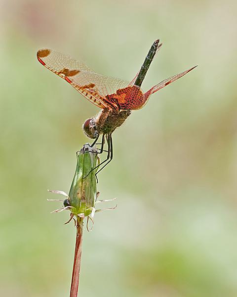 Calico Pennant (male) oblisking