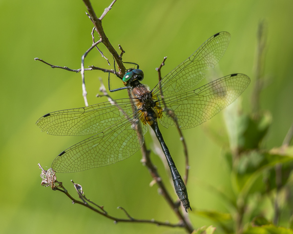 Emerald, male, probably a Kennedy's)