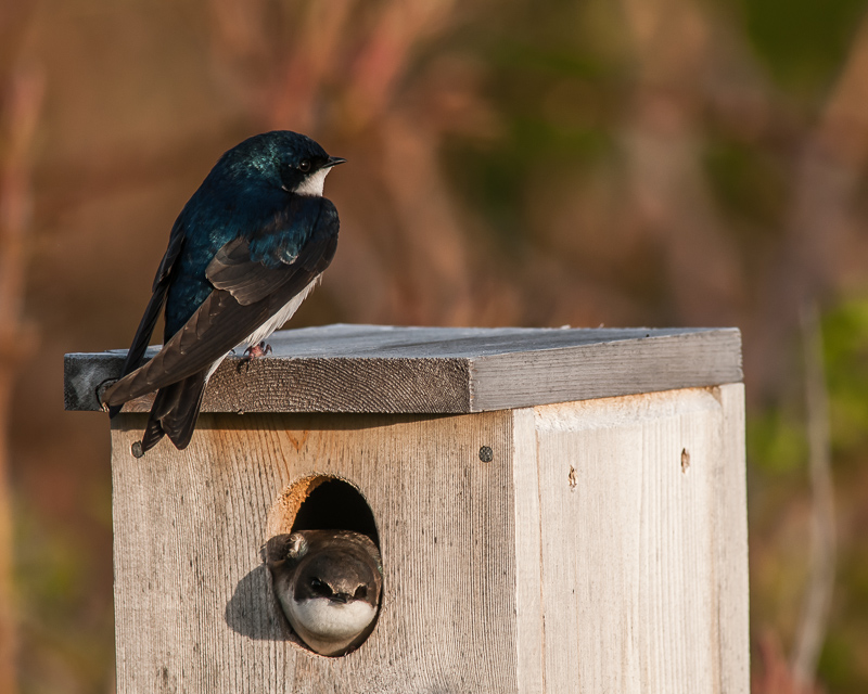 Tree Swallow Pair at Nest Box