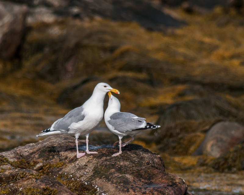 Herring Gull (courtship behavior)