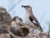 Northern Mockingbird with Prey (Odiorne Point)
