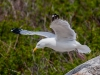 Herring Gull: Take Off!