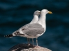 Herring Gull Pair
