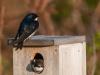 Tree Swallow Pair at Nest Box