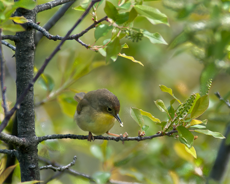 Nashville Warbler (female with prey)