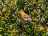 Summer Tanager (immature male)