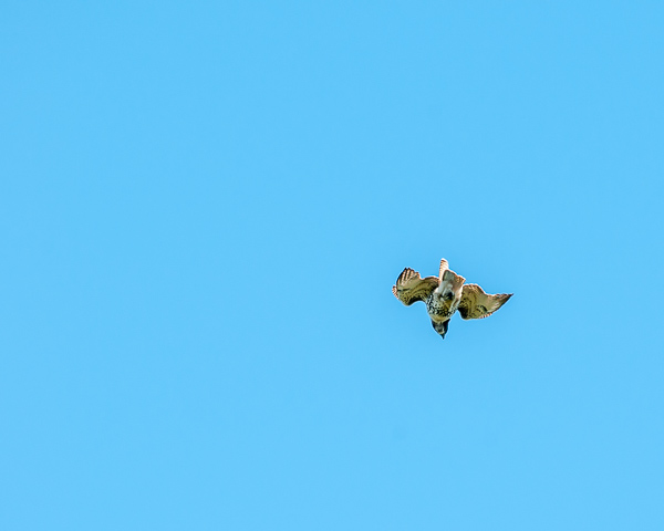 Hawk in Flight #1