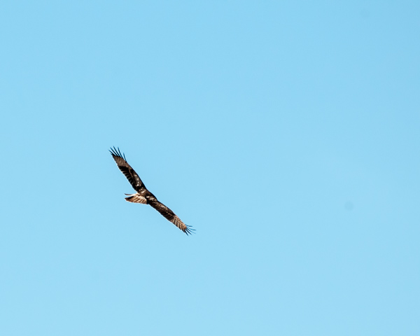 Hawk in Flight #2