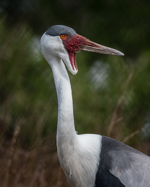 Whattled Crane   (captive animal)