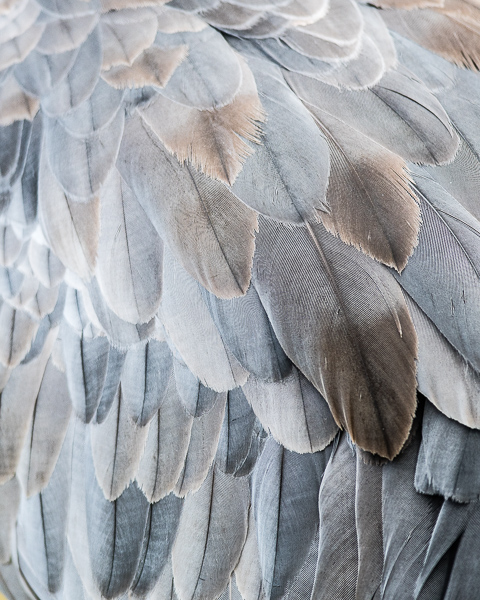 Crane Feathers (detail)