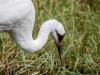 Whooping Crane #1 (captive animal)