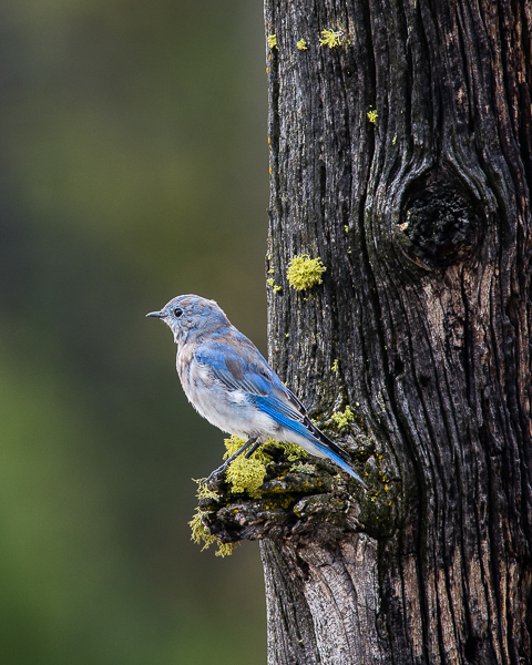 Mountain Bluebird ((Yellowstone NP))