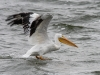 White Pelican Taking Flight