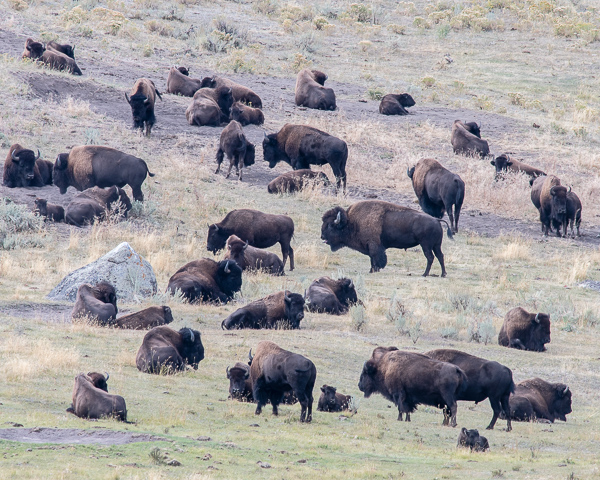 Bison Herd (Yellowstone NP)