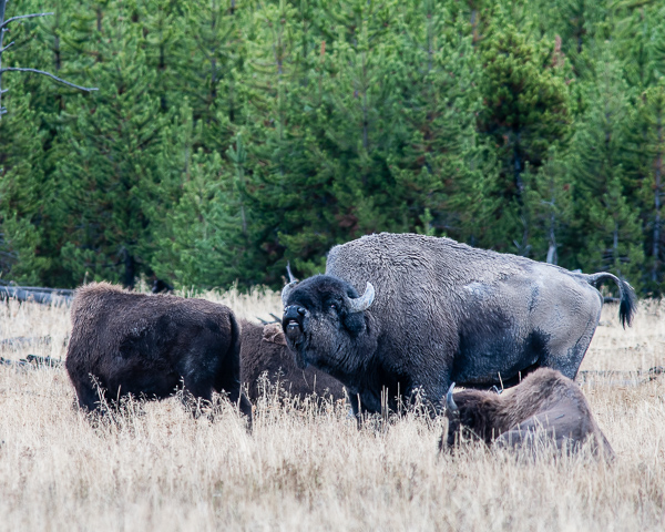 Bison Rut ((Yellowstone NP))