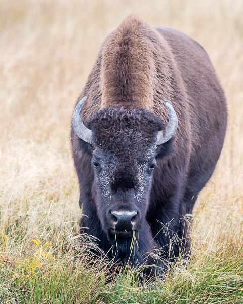 Grazing Bison #3 (Yellowstone NP)