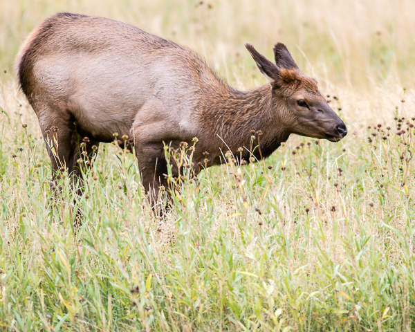 Elk Doe (Yellowstone NP)