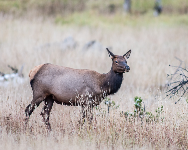 Elk Doe #2(Yellowstone NP)