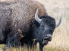 Bison (Yellowstone NP)