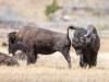 Rutting Bison #3 (Yellowstone NP)