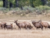 Bugeling Elk Bull with Harem (CM Russell NWR)