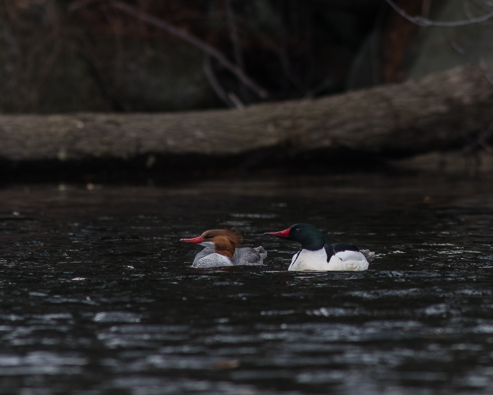 Common Merganser Pair #2