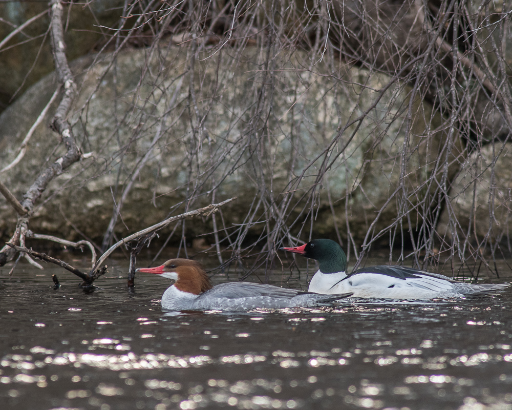 Common Merganser Pair Cruising