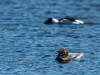 Common Merganser Pair #1