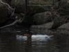 Common Merganser Pair Resting