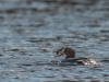Female Common Merganser with Prey #1