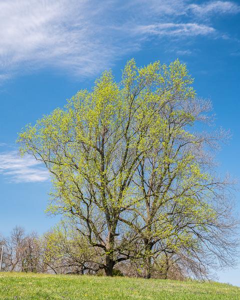 Vernal Tree #2