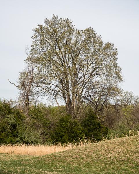 Vernal Tree #3