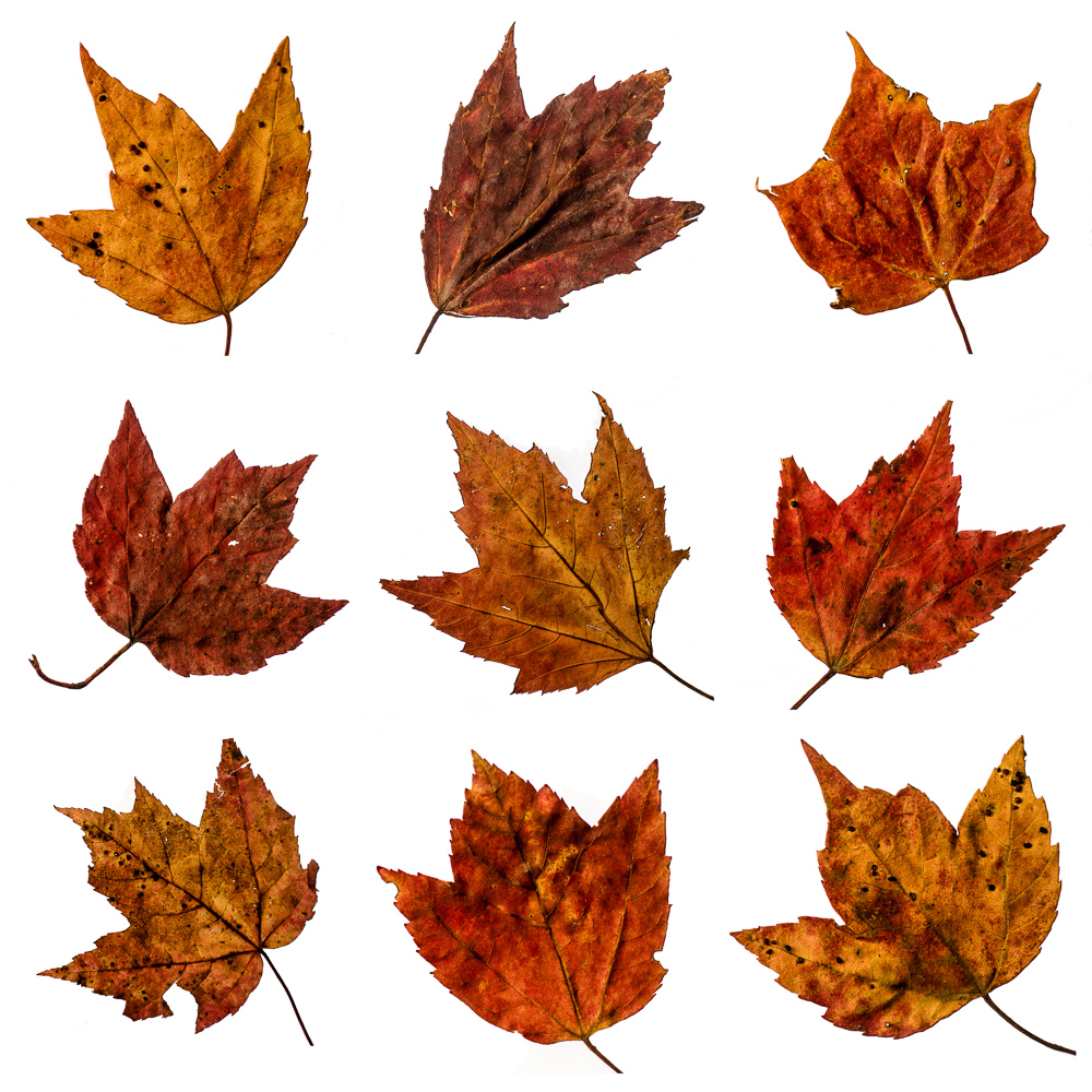 Maple Leaf Matrix