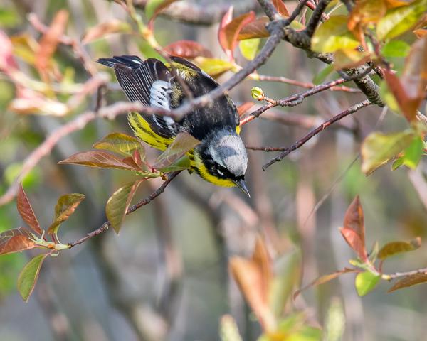 Magnolia Warbler #1