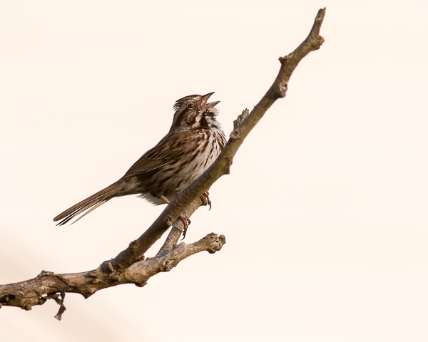 Sparrow Singing #1