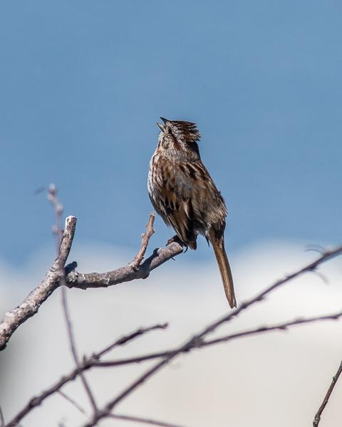Sparrow Singing #2