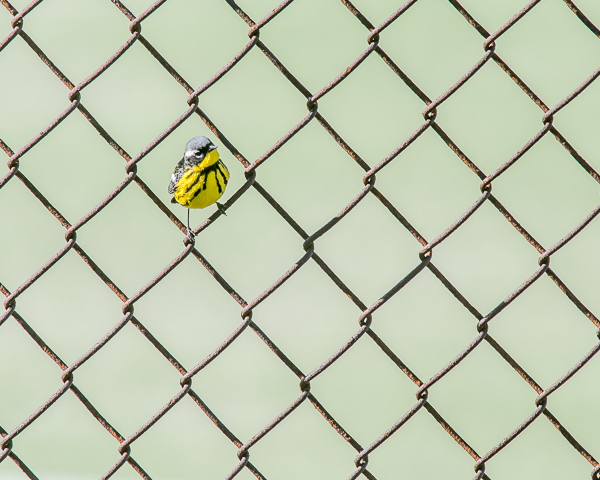 Magnolia Warbler (in chain link fence)