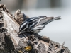 Black and White Warbler #2