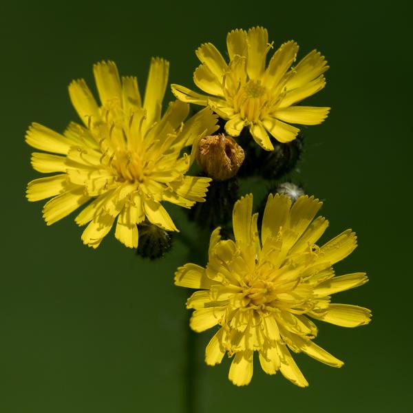 Wildflower #3