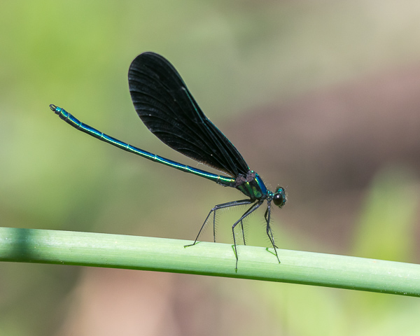 Ebony Jewelwing (male)