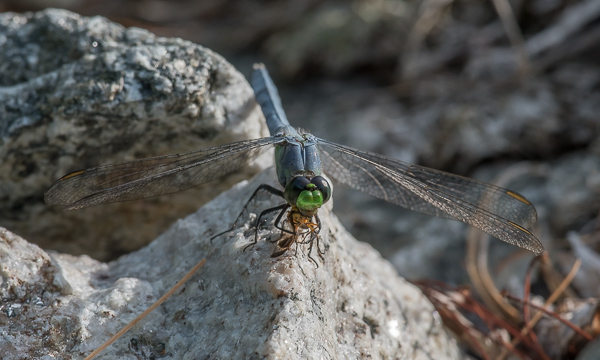 Common Pondhawk (male) with Prey