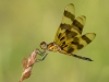 Halloween Pennant (immature male)