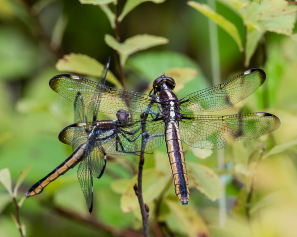 Spangled Skimmers (female)