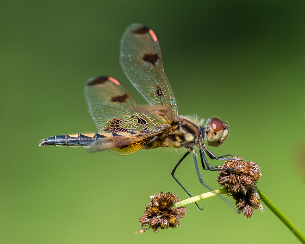 Calico Pennant (imm. male)