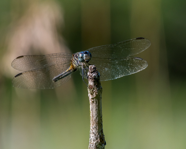 Blue Dasher (female)