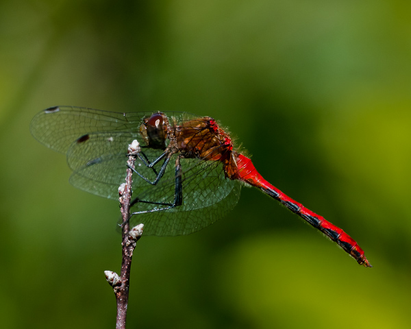Meadowhawk (male) #1