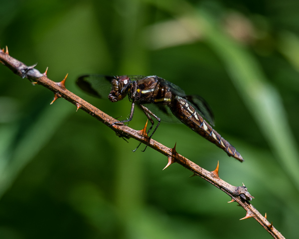 Common White-tail (female) with Prey