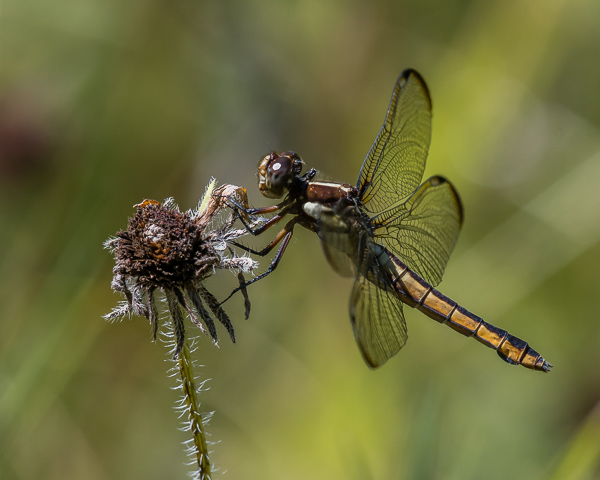 Spangled Skimmer (female) #1