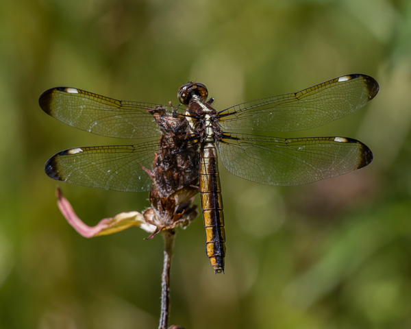 Spangled Skimmer (female) #2