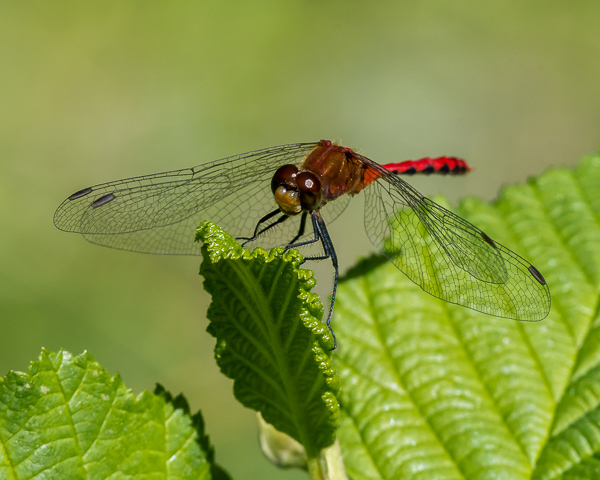 Meadowhawk (male) #2